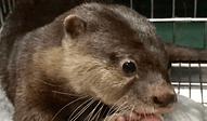 コツメカワウソ | 小動物 | ノーザンみしま