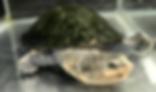 ヴァンヘーゲカエルアタマガメ | カメ | ノーザンみしま