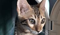 ベンガル | 小動物 | ノーザンみしま