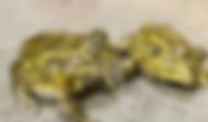 アフリカウシガエル   カエル   ノーザンみしま