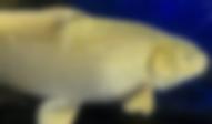 錦鯉 黄金 | ノーザンみしま