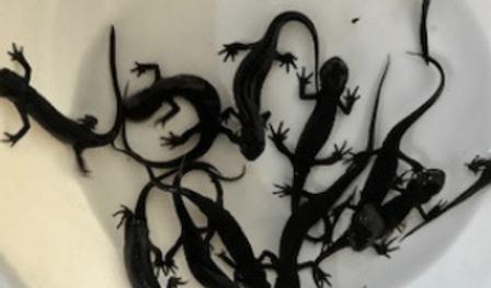 イモリ | ヘビ・トカゲ | ノーザンみしま