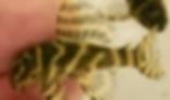オリノコ メガクラウン | プレコ | ノーザンみしま