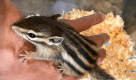 シマリス   小動物   ノーザンみしま