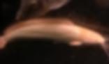 アルビノクララ | ナマズ類 | ノーザンみしま
