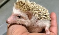 ハリネズミ | 小動物 | ノーザンみしま