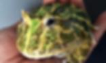 ベルツノガエル | カエル | ノーザンみしま
