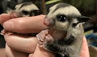 フクロモモンガ | 小動物 | ノーザンみしま