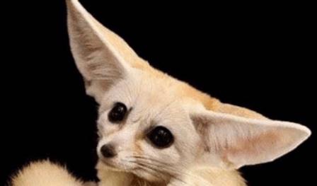 フェネック | 小動物 | ノーザンみしま