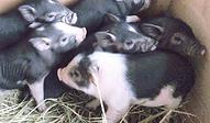 ミニブタ | 小動物 | ノーザンみしま