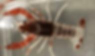 ザリガニ | 昆虫他 | ノーザンみしま