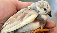 ヒメウズラ | 鳥類 | ノーザンみしま