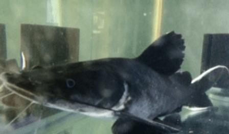 ホワイトテールブラックキャット | ナマズ類 | ノーザンみしま