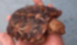 パンケーキリクガメ | カメ | ノーザンみしま