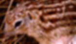 ジュウサンセンジリス   小動物   ノーザンみしま