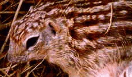 ジュウサンセンジリス | 小動物 | ノーザンみしま