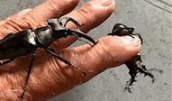 ミヤマクワガタ | 昆虫他 | ノーザンみしま