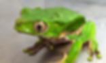 ジャイアントネコメアマガエル | カエル | ノーザンみしま