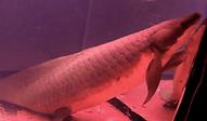 ネオケラトドゥス   肺魚   ノーザンみしま