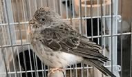 青黄鳥 | 鳥類 | ノーザンみしま