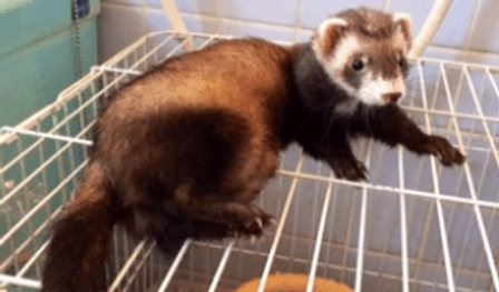 フェレット | 小動物 | ノーザンみしま