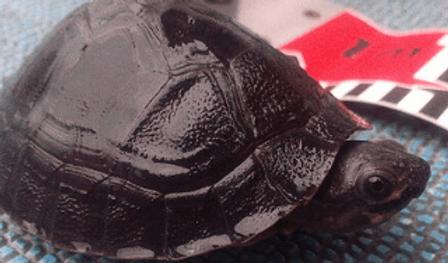 ボルネオカワガメ | カメ | ノーザンみしま