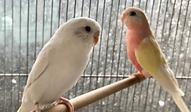 セキセイインコ | 鳥類 | ノーザンみしま