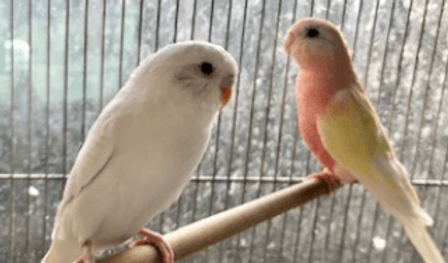 セキセイインコ   鳥類   ノーザンみしま