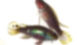 ペルビカクロミス タエニアータス | シクリッド | ノーザンみしま
