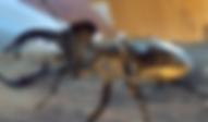 エゾミヤマクワガタ | 昆虫他 | ノーザンみしま