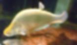 チタラ ロピス | その他 | ノーザンみしま