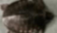 スッポンモドキ   カメ   ノーザンみしま