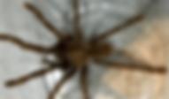 ベトナムタイガータランチュラ | 昆虫他 | ノーザンみしま