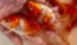 日淡・金魚・錦鯉・メダカ | ノーザンみしま | アロワナからカワウソまで | 静岡発全国展開
