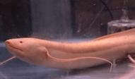 プロトプテルス・エチオピクス   肺魚   ノーザンみしま
