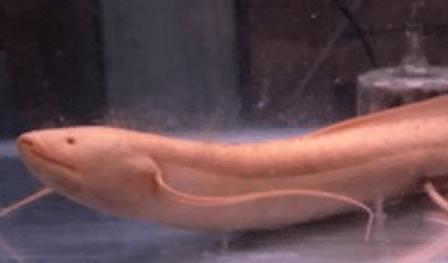 プロトプテルス・エチオピクス | 肺魚 | ノーザンみしま