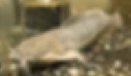 アフリカンクララ | ナマズ類 | ノーザンみしま