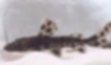 ピンタードキャット | ナマズ類 | ノーザンみしま