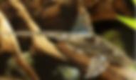ロイヤルファロウエラ | ナマズ類 | ノーザンみしま