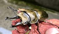 オニクワガタ | 昆虫他 | ノーザンみしま