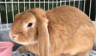 ウサギ ロップイヤー | 小動物 | ノーザンみしま