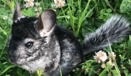 チンチラ | 小動物 | ノーザンみしま