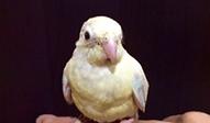 ビセイインコ | 鳥類 | ノーザンみしま