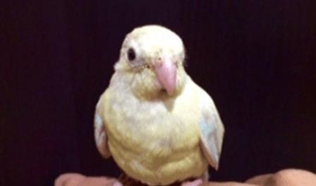 ビセイインコ   鳥類   ノーザンみしま