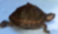 ベニマワリセタカガメ   カメ   ノーザンみしま