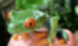 アカメアマガエル | カエル | ノーザンみしま