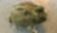 チャコガエル   カエル   ノーザンみしま