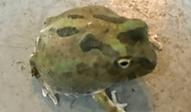 チャコガエル | カエル | ノーザンみしま