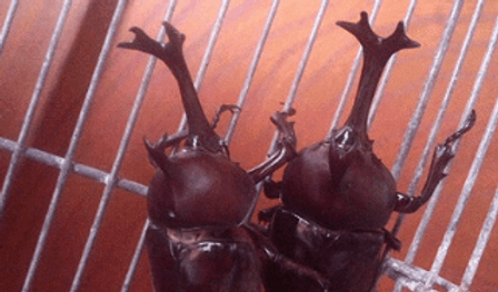 カブトムシ | 昆虫他 | ノーザンみしま