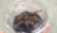 ローズヘアタランチュラ | 昆虫他 | ノーザンみしま
